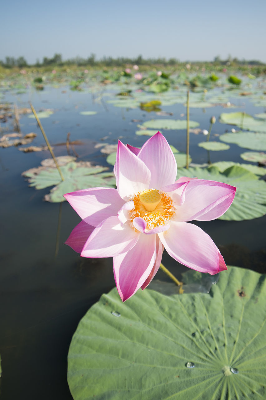 flower, petal, beauty in nature, nature, pink color, fragility, freshness, flower head, no people, lotus water lily, water, growth, focus on foreground, close-up, plant, day, leaf, lotus, outdoors