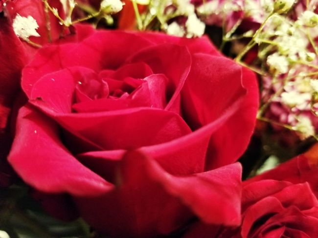 Close Up Red Rose Loove Rose Petals Curved Close Up Red Rose You Hurt Me  Deep Red Rose Michigan Red Rose Flower Nature Petal Flower Head Pink Color Plant Beauty In Nature Growth Freshness Close-up Rose - Flower