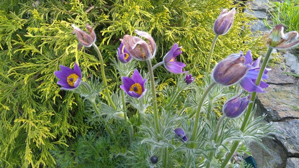 Flower Growth Nature Plant Beauty In Nature No People Outdoors Day Freshness Beauty In Nature Nature Plant Spring Spring Flower Purple Flower Pasque Flower Pasqueflower Taking Photos