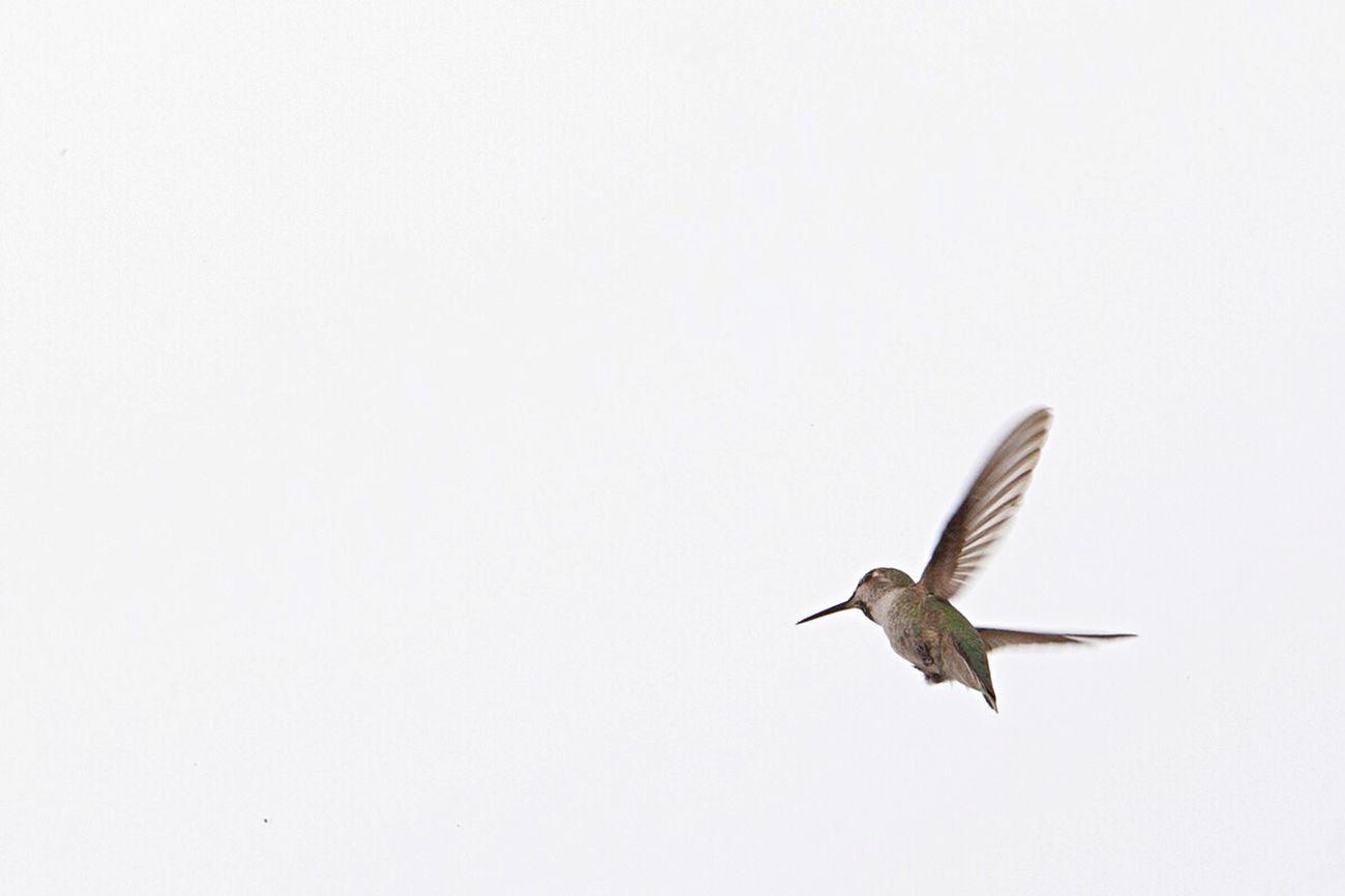 Hummingbird Minimalism Birds California EyeEm Nature Lover White Negative Space Small And Swift