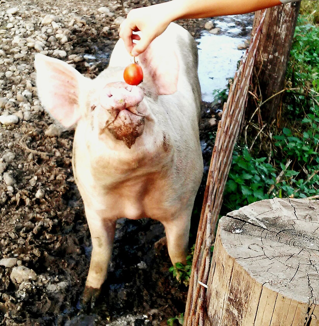 Cropped Hand Feeding Tomato To Pig On Field