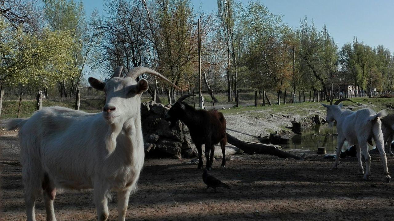 Goats Goatfarm Goat Farm Goat Nature Sky Animal Themes Domestic Animals Farm