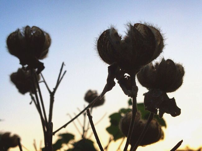 Sillouette Growth Nature Plant Flower Silhouette Clear Sky Close-up Fragility Sky No People Beauty In Nature Outdoors Flower Head Sunset Cotton Plant ? Blue Nature Skyporn 空 Autumn EyeEm Nature Lover ✨✨✨