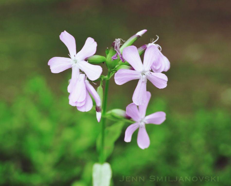 Phlox Tadaa Community Wildflowers Flowers