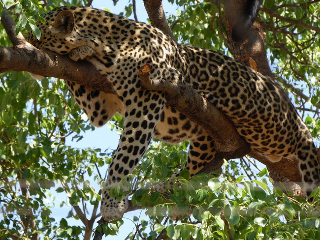 spot the leopard and win a prize... hahahahahaha Lazing Around Laid Back Higher Ground Spots Animals In The Wild Natural Habitat Blending In