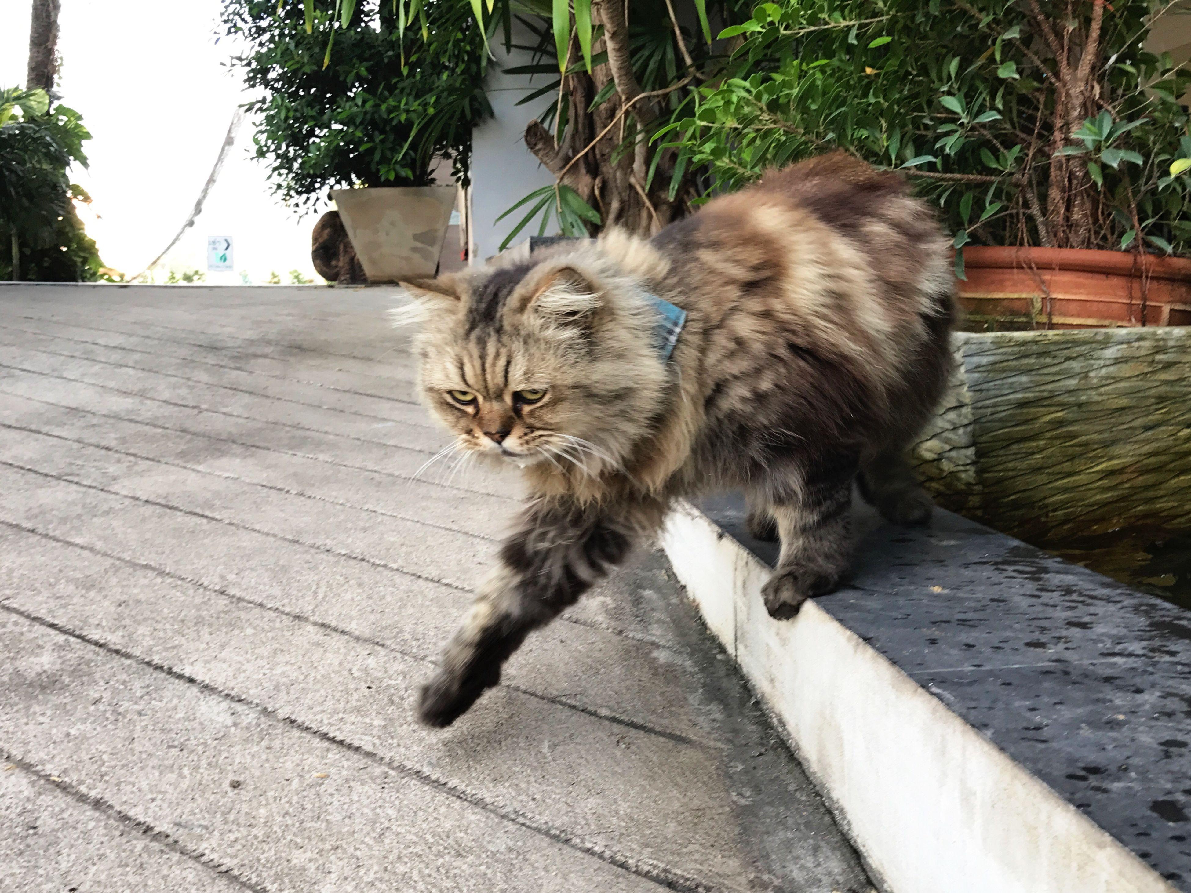 Pets Cat♡ Singto Khonkaen Thailand