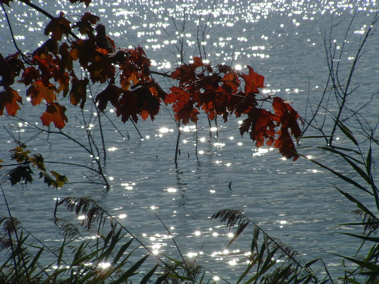 autumn, water, leaf, nature, beauty in nature, change, growth, tree, tranquility, no people, outdoors, maple leaf, lake, plant, branch, day, tranquil scene, scenics, floating on water, fragility, maple, close-up, freshness