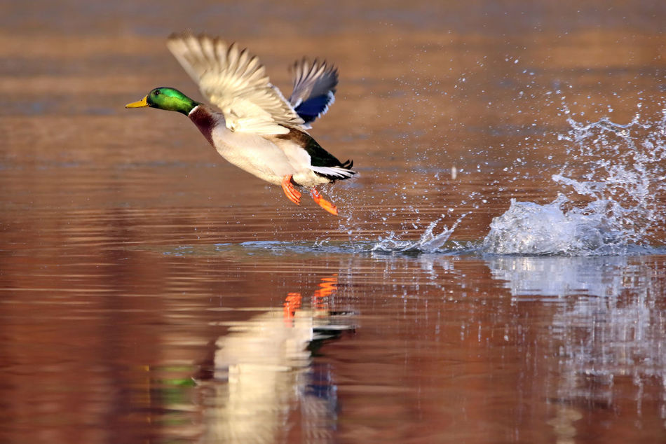 Mallard Takeoff Animal Themes Animal Wildlife Animals In The Wild Avian Bird Close-up Day Duck EyeEm Nature Lover Flap M Male No People One Animal Outdoors TakeOff Wings