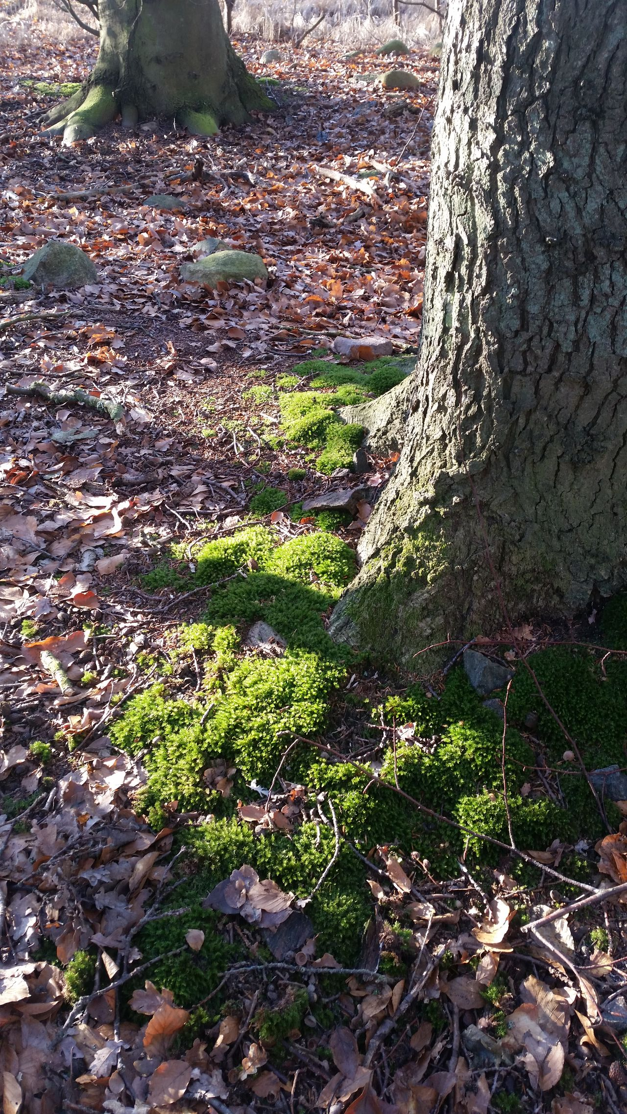 Sunlight on moss Nature No People Close-up Tree Outdoors Day Beauty In Nature Pic Of The Day Rural Scene Beautiful Taking Photos Sunshine Beauty In Nature Tranquil Scene Forest Sunlight Tranquility Winter Wintertime Fragility January Green Color Green Moss Fairytale