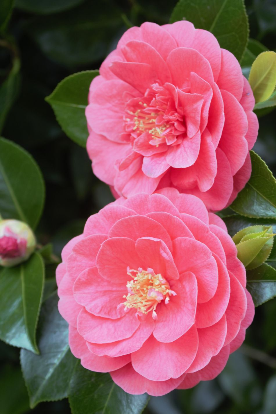 Beauty In Nature Blooming Camellia Close-up Day Flower Flower Bud Flower Head Focus On Foreground Fragility Freshness Growth Leaf Nature No People Outdoors Petal Pink Color Pink Flowers Plant