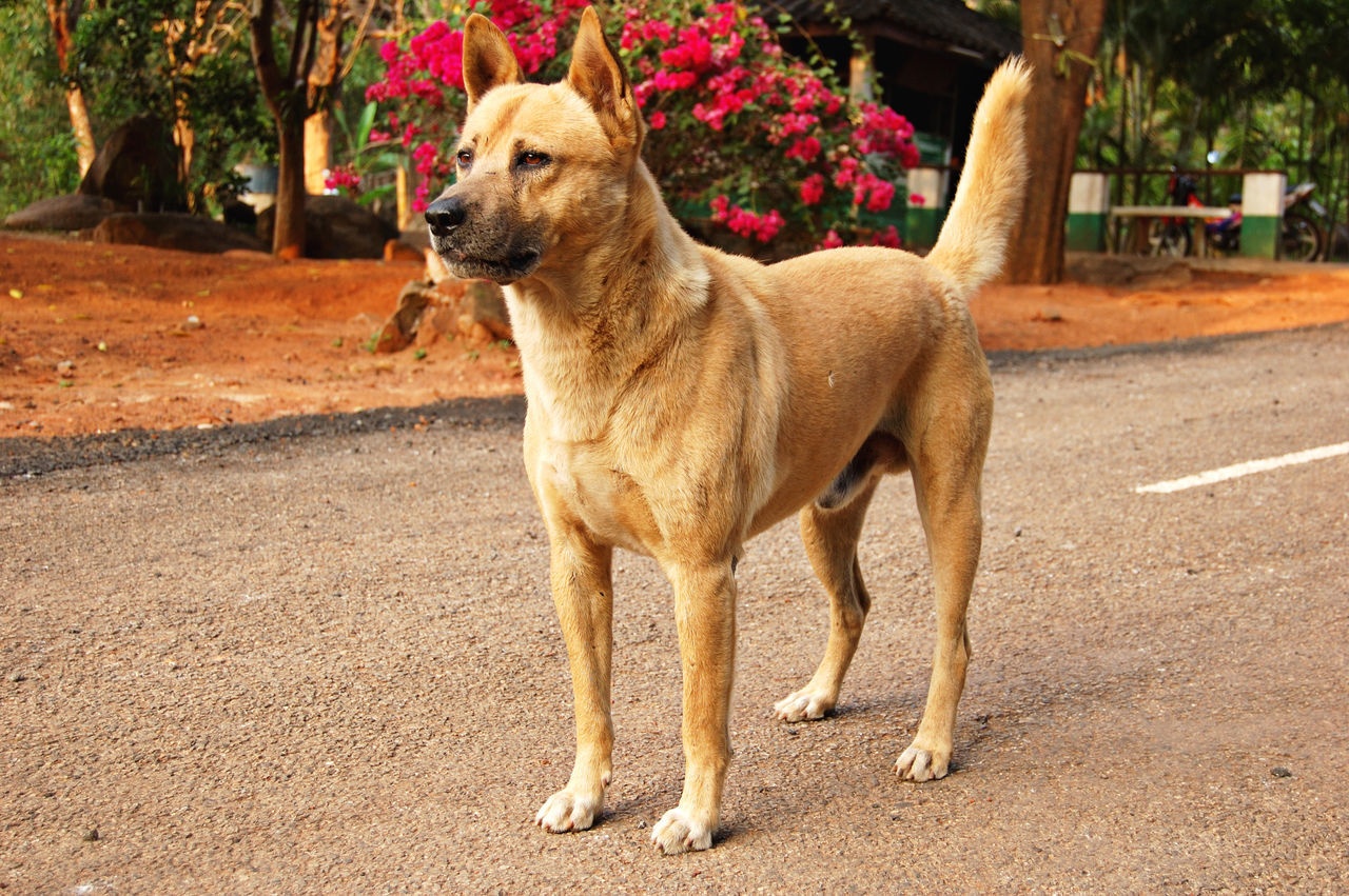 Male dingo on a rural road in Thailand (dingoes originated in south-east Asia and still live there) Animal Bangkok Breed Dingo Dog Male Mongrel Pet Stray Stray Dog Street Dog Streetside Thailand