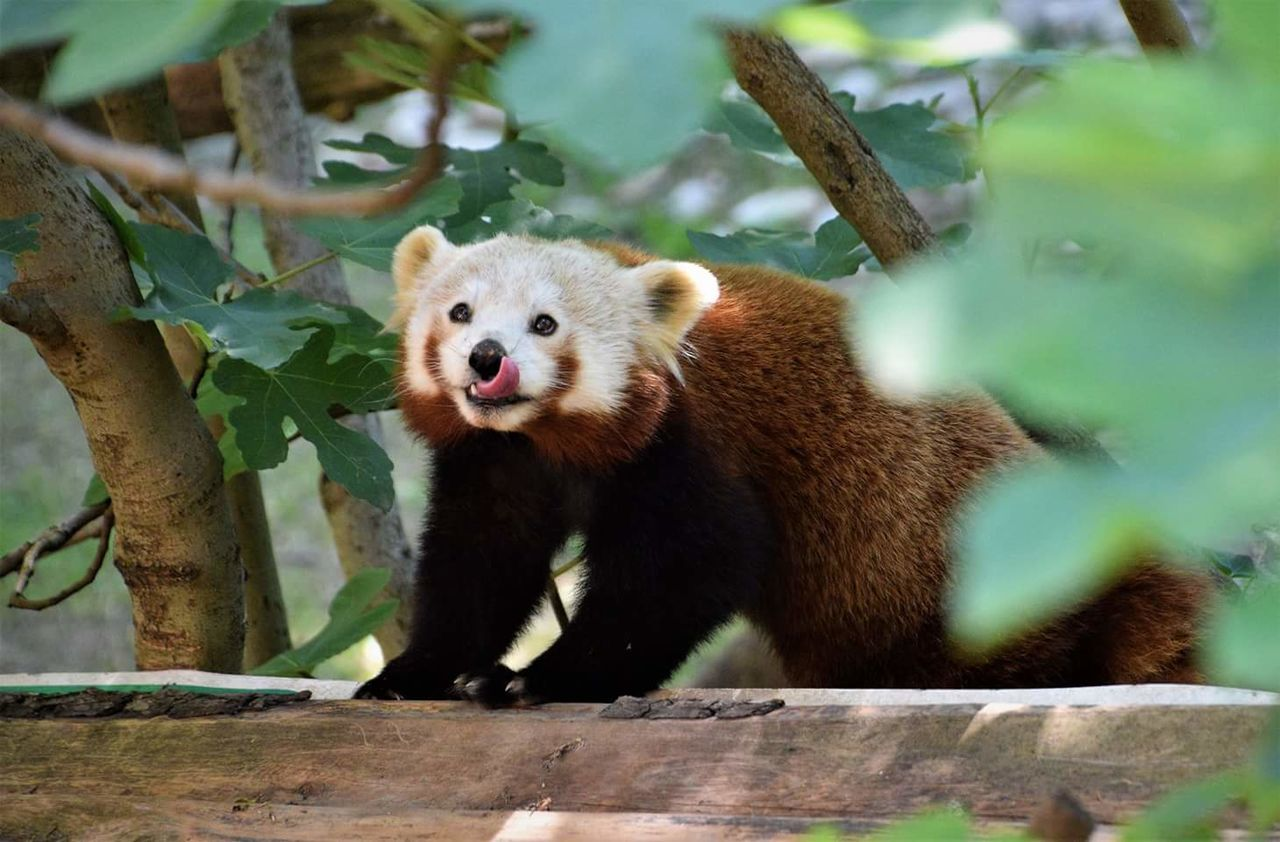 Animal Wildlife Animal Bear Animals In The Wild One Animal Mammal Day Outdoors Nature Close-up Red Panda Panda - Animal No People Beauty In Nature Nature Forest Art Is Everywhere Springtime Tree Trunk Tree Green Color EyeEm Diversity