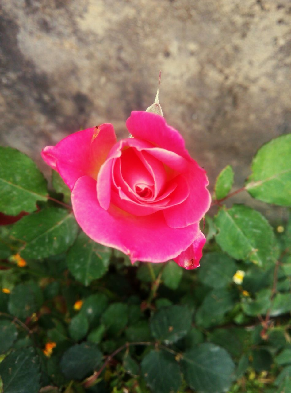 flower, petal, rose - flower, fragility, nature, flower head, beauty in nature, pink color, growth, plant, blooming, freshness, no people, leaf, close-up, outdoors, day