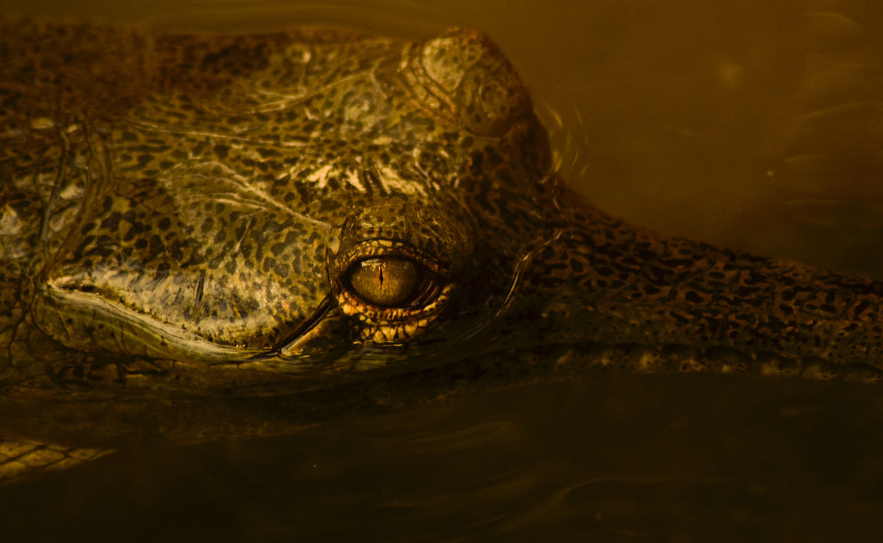 Animal Head  Close-up No People Light And Shadow Yellow Colour Nature Evening Dark Brown Warm Colors Wet Camouflage EyeEm Best Shots Darkness And Light Colseup Light Vivid Eyeem Photo Crocodile