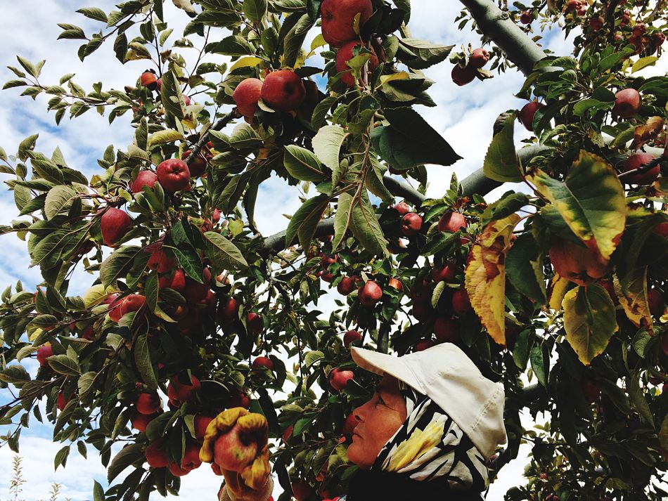 Beautiful stock photos of apfel,  50-54 Years,  Agriculture,  Apple,  Apple Tree