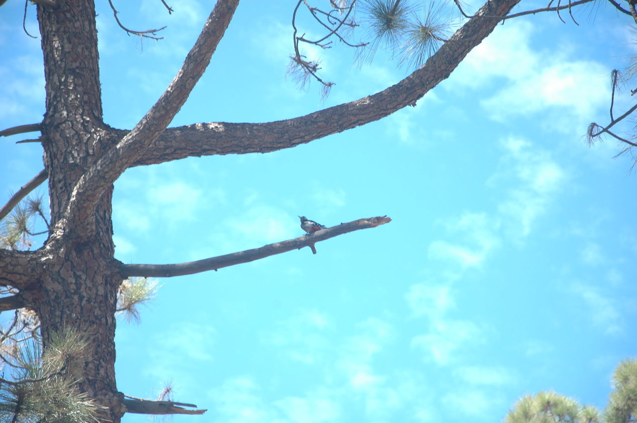 Animal Themes Animals In The Wild Beauty In Nature Bird Blue Branch Canarias Canary Canary Islands Cho Tenerife Day Low Angle View Mountain Nature Nature No People One Animal Outdoors Parque Nacional Del Teide Sky Teide Teide Volcano Tenerife Tree Vulcan