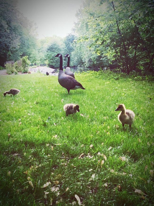 My NJ Geese Jogging Green Feeding Time