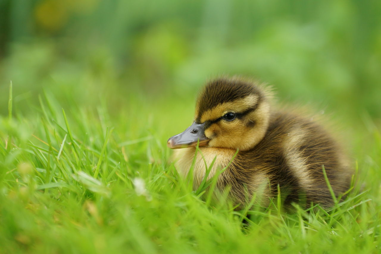 Little duckling sitting in the grass Animal Themes Animal Wildlife Animals In The Wild Bird Bird Photography Chick Close-up Day Duckling Field Fledgling Frail Grass Green Color Juvenile Juvenile Bird Leaves Of Grass Mallard Mallard Duck Meadow Nature No People One Animal Outdoors Young Bird