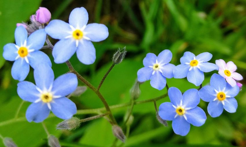 'ForgetMeNot' Flower Fragility Petal Beauty In Nature Flower Head Growth Nature Freshness Plant Blooming Day Outdoors Purple Close-up No People Summertime Plant Urban Flower Beautiful ♥ Fave Flower Beauty In Nature Tiny Flowers Oslo 2017 KJ✨