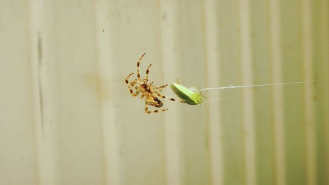 Spider Spider Web Spider Attack Green Bug Stink Bug