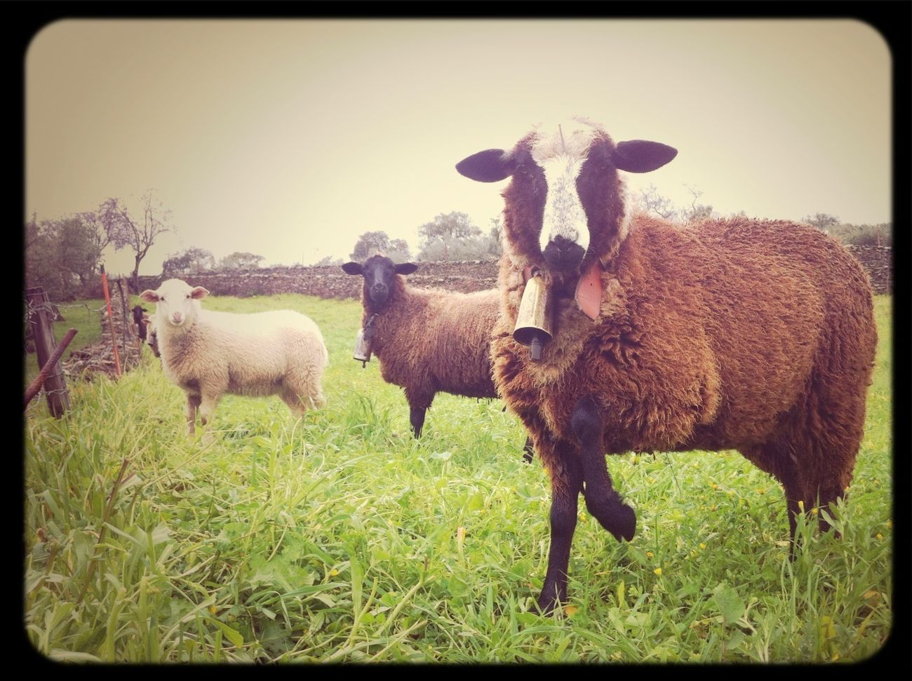 Model Sheep