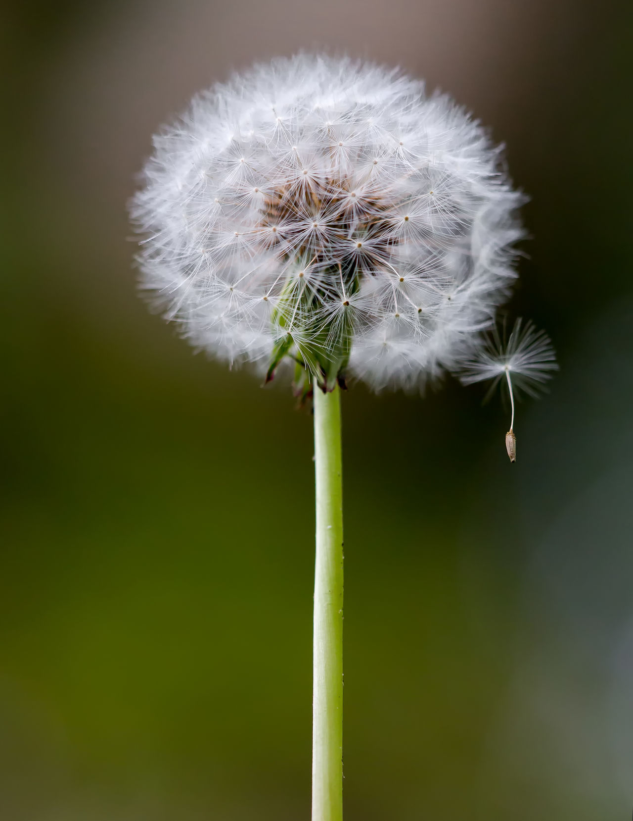 Dandelion Seed Head Beauty In Nature Blooming Botany Close-up Dandelion Dandelion Seed Day Flower Flower Head Focus On Foreground Fragility Freshness Green Color Growth Nature No People Outdoors Plant Seed Softness Stem Uncultivated