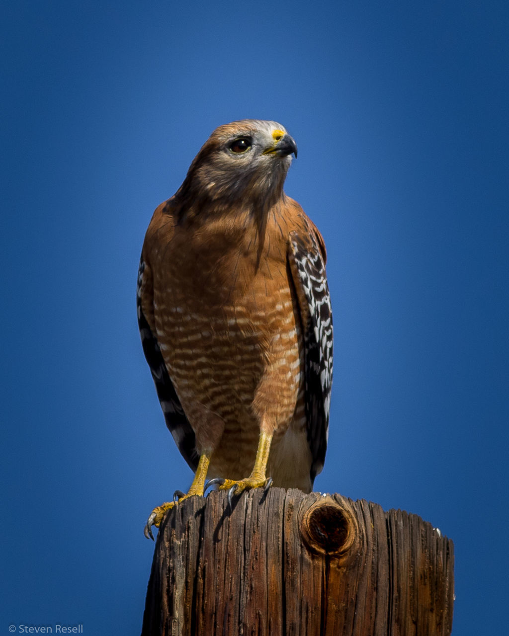 bird, one animal, animal themes, bird of prey, animals in the wild, blue, animal wildlife, clear sky, perching, day, wood - material, low angle view, outdoors, no people, nature, close-up