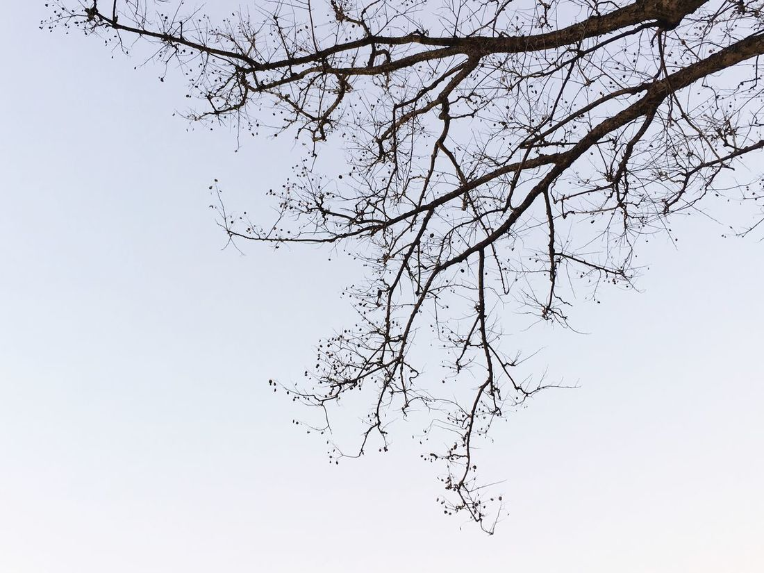 Branch Nature Beauty In Nature Tree Bare Tree Low Angle View Clear Sky Flower Tranquility Outdoors No People Sky Scenics Fragility Freshness Growth Day Animal Themes