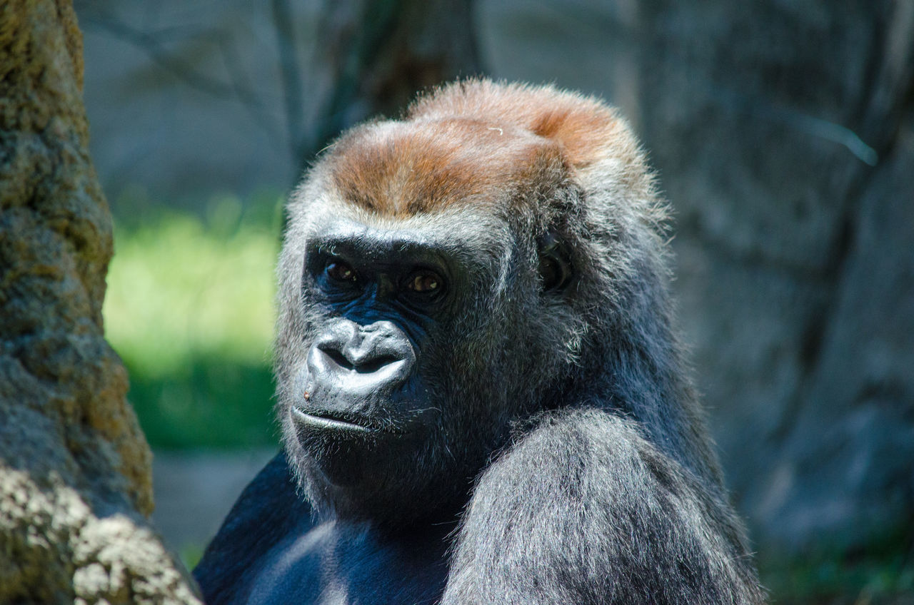 Beautiful stock photos of gorillas, Animal Head, Animal Themes, Animals In Captivity, Animals In The Wild