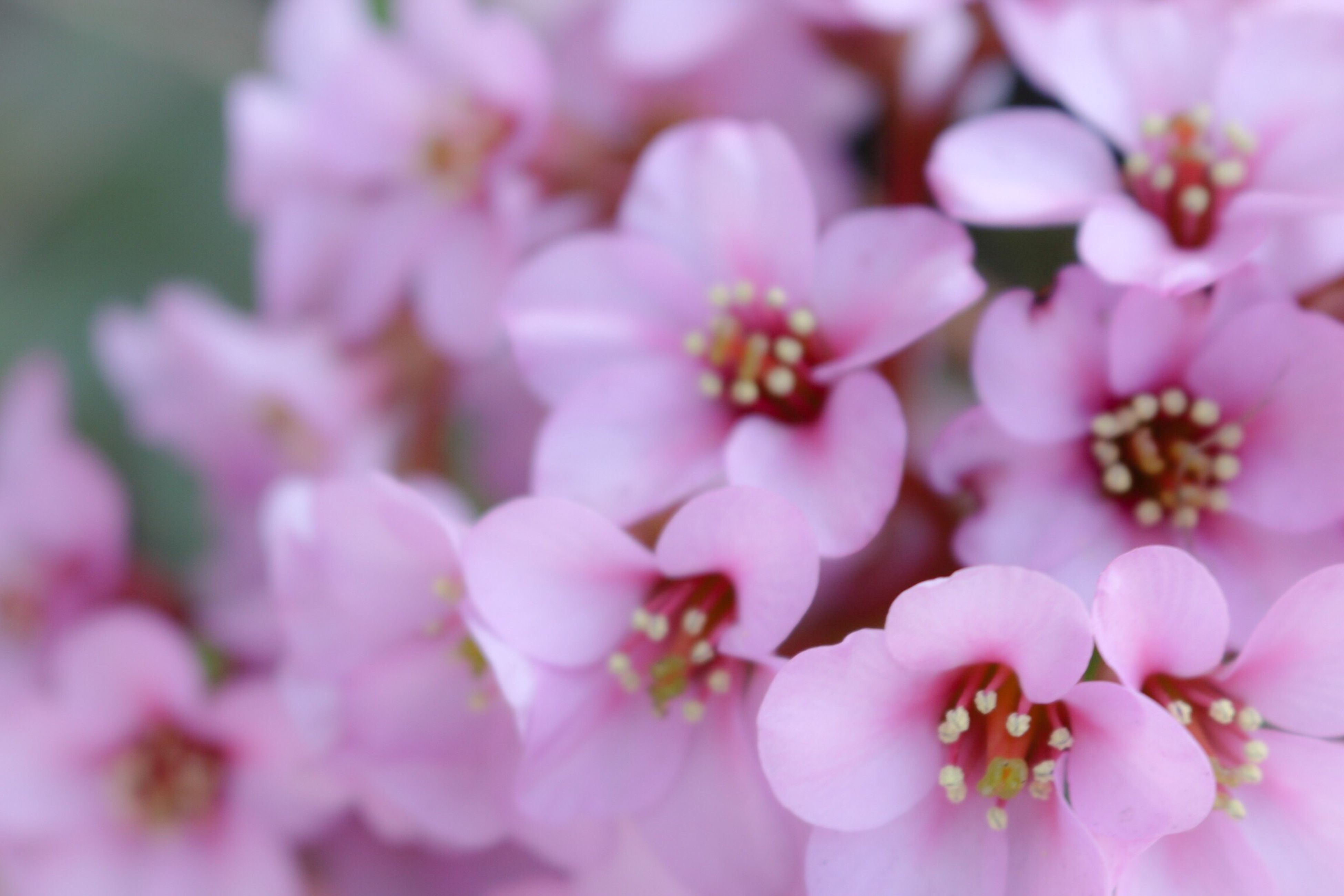flower, freshness, fragility, growth, petal, pink color, beauty in nature, close-up, nature, flower head, focus on foreground, blossom, blooming, pink, stamen, in bloom, branch, selective focus, springtime, pollen