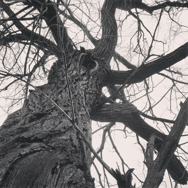 Tree Trees Gnarly Gnarlytree twistedtree twistedtrees twistedtreephotography eviltree eviltrees eviltreeofdeath sleepyhollow gothictree gothictrees silwood silwoodestate selondon selondonforever