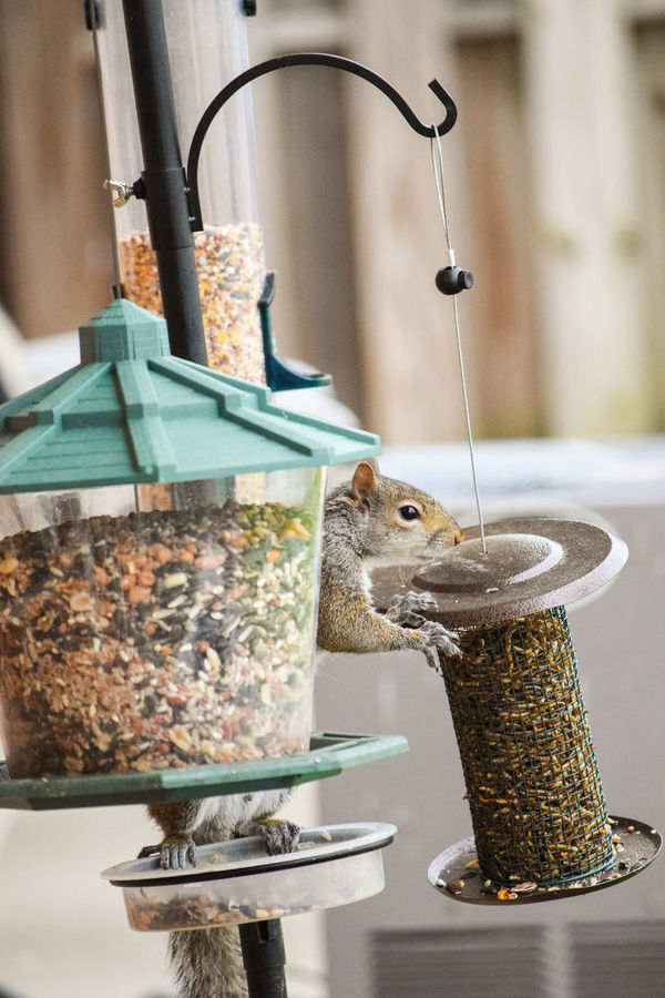 Animal Balancing Balancing Act Bird Feeder Bird Feeders Bird Food Busted! Caught You Critter Evidence Indulgence Nature Nature On Your Doorstep Pole Say Hello To My Little Friend Squirrel Wildlife