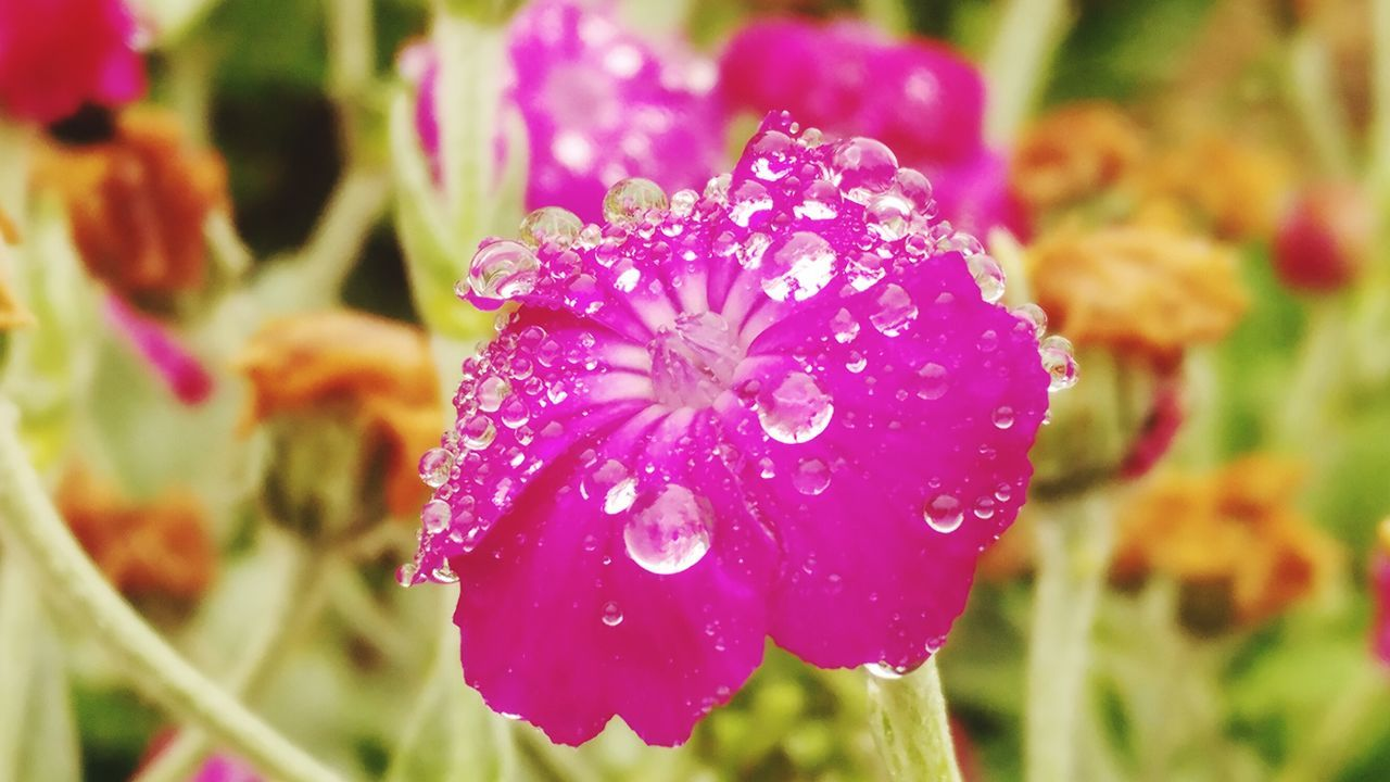 Waterdtops Freshness Flower Nature Purple Plant Focus On Foreground Outdoors Day Drop Beauty In Nature No People Close-up Water Fragility Multi Colored Flower Head Freshness