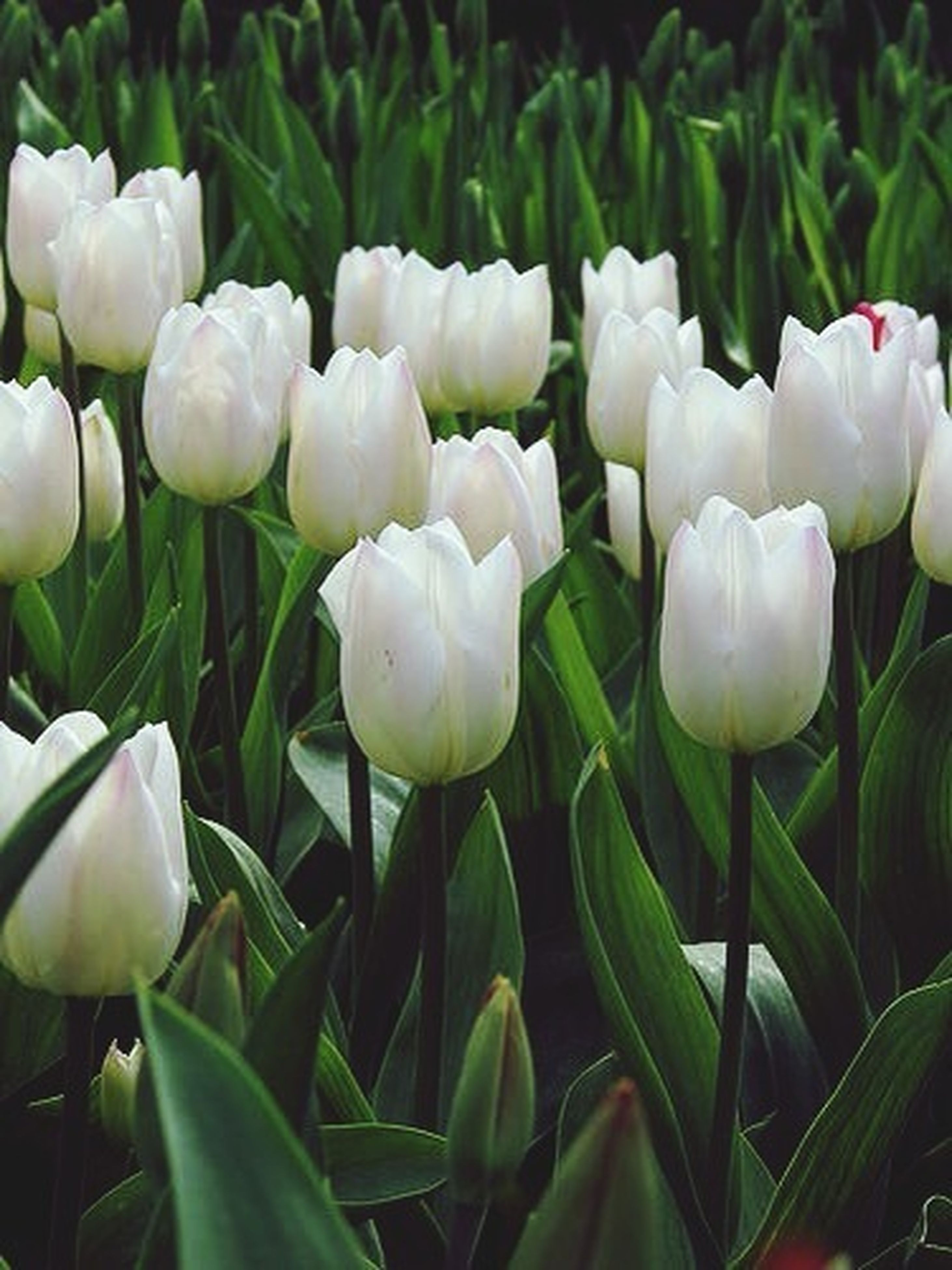 flower, freshness, petal, growth, fragility, tulip, flower head, beauty in nature, white color, plant, nature, blooming, leaf, close-up, green color, field, stem, bud, in bloom, outdoors