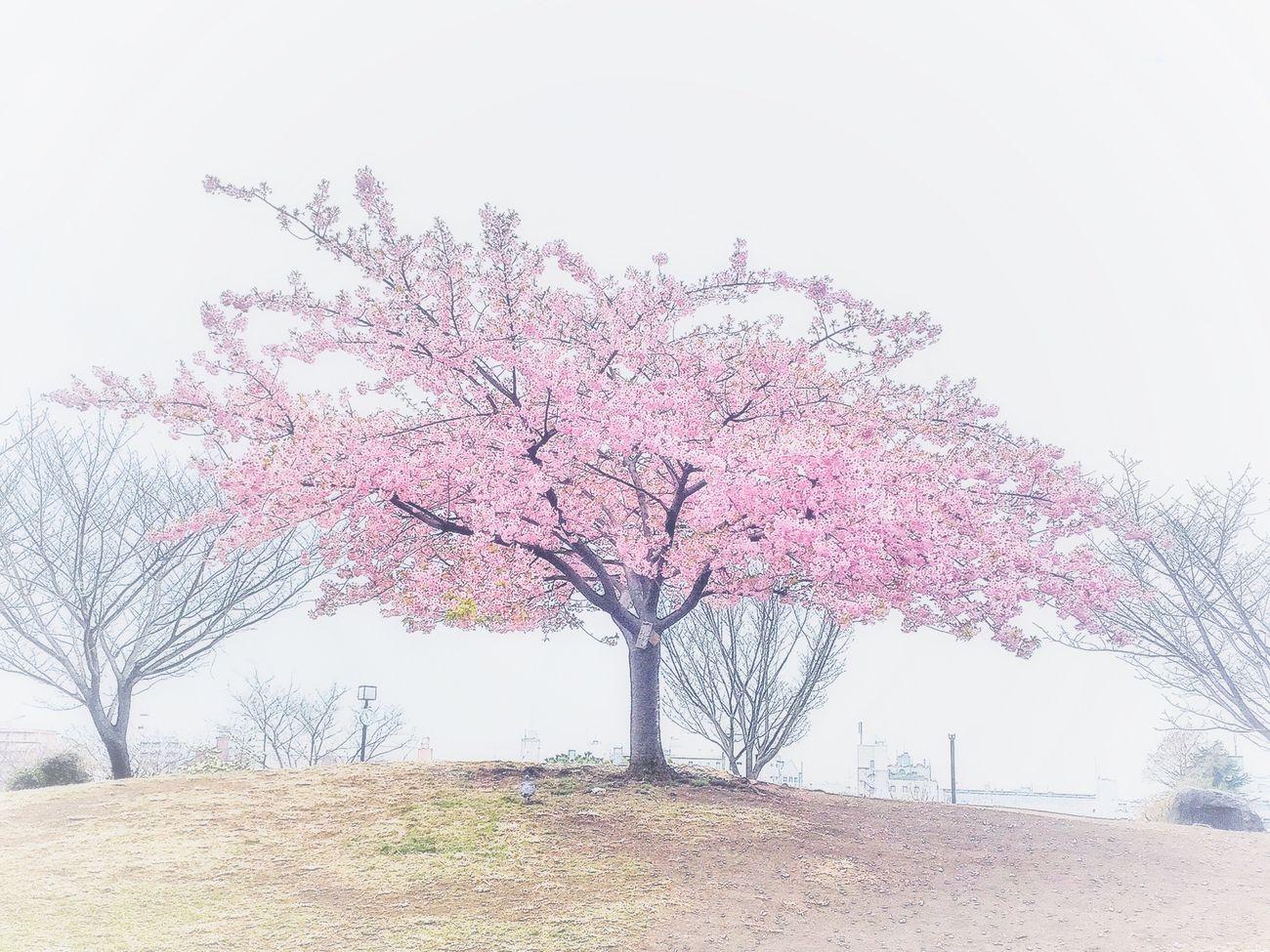 また来年も会いたいね…満開の姿を見せて下さい😌🙏✨🌸✨🌸✨🌸✨🌸✨ Enjoying Life Taking Photos Relaxing IPhoneography Peace And Love Beautiful Day Walking Around EyeEmBestPics 河津桜 西郷山公園 Cherry Blossoms
