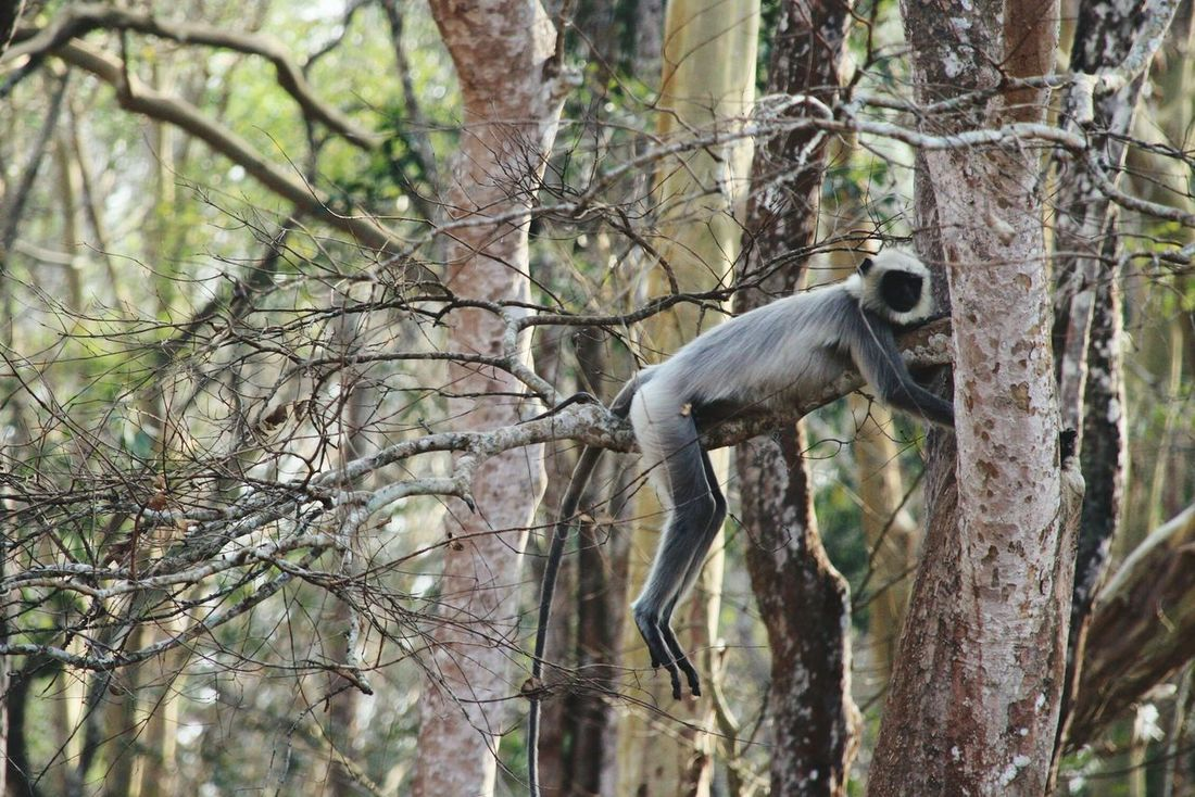 Animals In The Wild Langur Monkey Branch Forest Nature Jeep Safari NagarholeNationalPark Old Picture Forest Photography