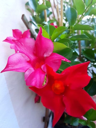 Flower Petal Nature Red Pink Color Beauty In Nature Flower Head Close-up Outdoors Freshness Day Growth Plant Leaf Fragility No People Dipladenia