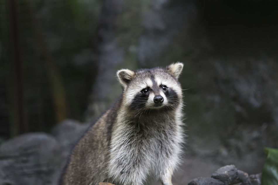 Beautiful stock photos of raccoon,  Animal Wildlife,  Animals In The Wild,  Day,  Focus On Foreground