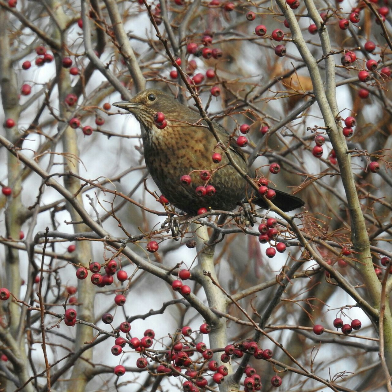 Songbird  SongThrush Turdus Philomelos Bird Red Perching Tree Branch No People Nature Animal Themes Rowanberry Day Outdoors Food Hanging Beauty In Nature Close-up Animals In The Wild Berry Nature Animal Wildlife Beautiful Taking Photos Naturelovers
