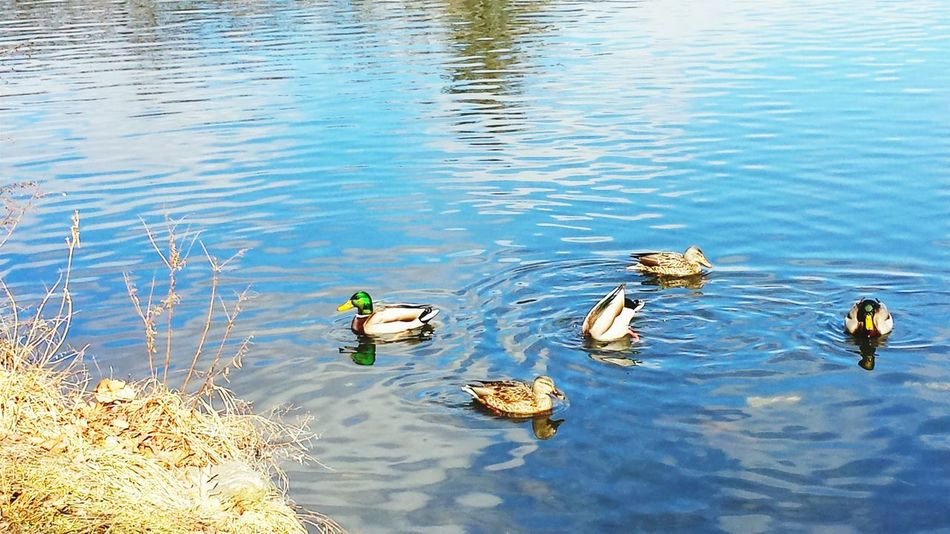 Ducks Mallards Water Birds Of EyeEm  Lake Water_collection Water Reflections Reflection Light Nature Photography Urban Landscape Wildlife Photography Visualsoflife Simple Elegance Magestic Creation Earth No People Outdoor Photography Visionary City Park Cameraneverstops Natural Beauty Awe Inspiring Sunlight