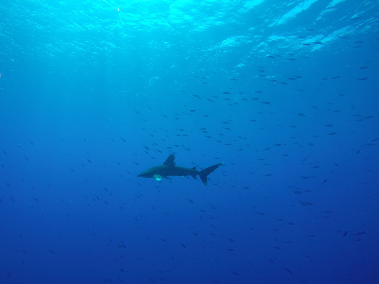 White Tip Shark With Company