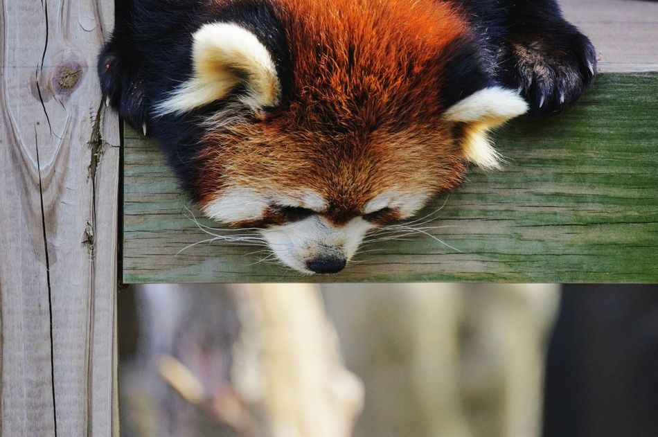 what's down there? Red Panda Panda - Animal Animal Themes Outdoors Cute Animals Cute Looking Down One Animal Animal Head  Close-up