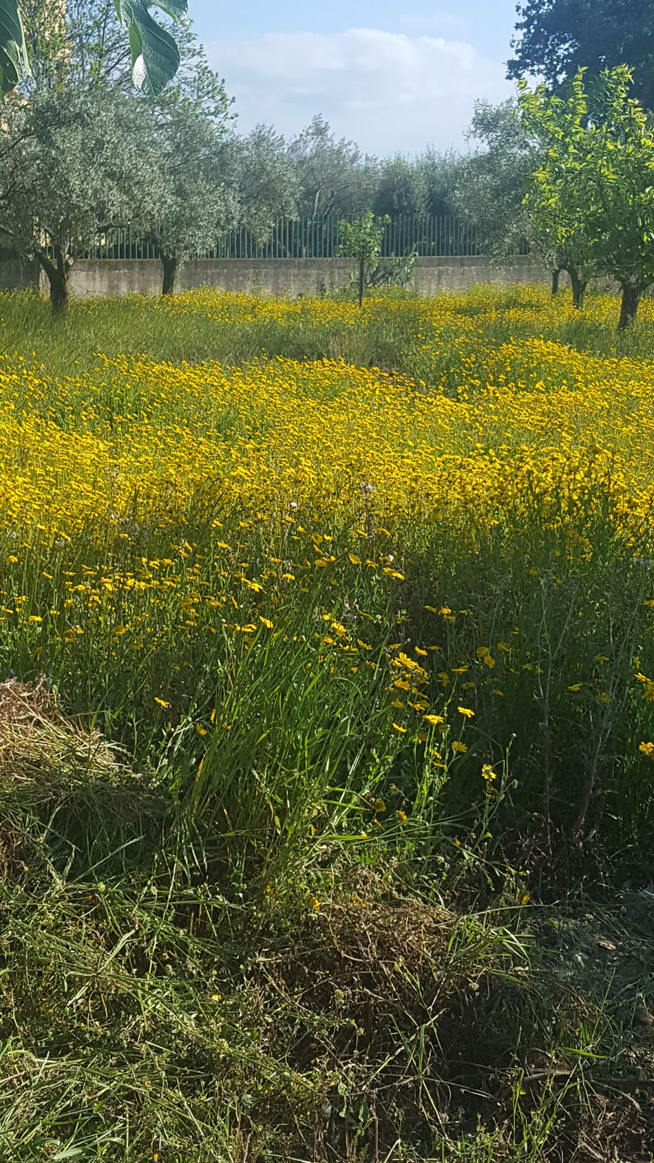 Flowers Outdoors Flowers, Nature And Beauty Nature Grass Field Growth Agriculture Day Beauty In Nature Yellow No People Flower Freshness Rural Scene Tree Sky Plant Tree Nature