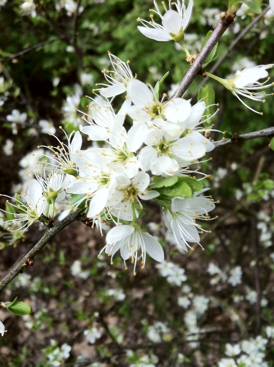 flower, blossom, white color, tree, growth, nature, apple blossom, apple tree, fragility, orchard, springtime, branch, botany, beauty in nature, spring, freshness, no people, petal, stamen, day, blooming, outdoors, close-up, flower head
