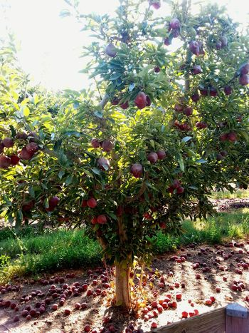 Fruit Tree Freshness Agriculture Nature Tranquil Scene