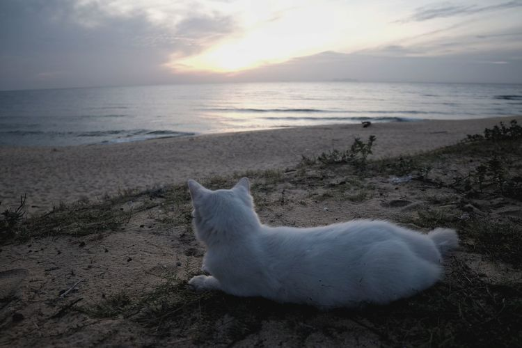 Cat on beach at sunrise Sea Beach Sand Horizon Over Water One Animal Cloud - Sky Nature Sun Sky Wave Animal Themes Cat Sunrise Dawn Tranquility Daybreak Cats 🐱 Cats Of EyeEm Breathing Space Pet Portraits Lost In The Landscape An Eye For Travel