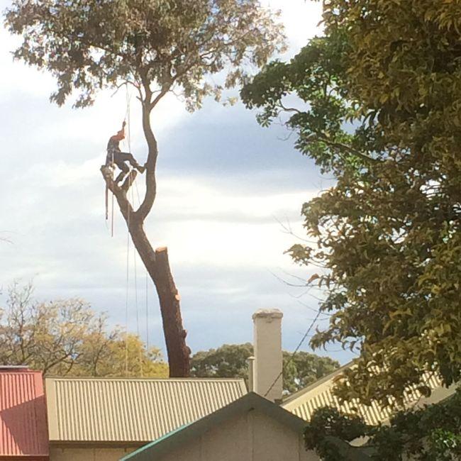 Tree Felling in Suburbia