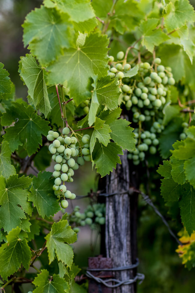 Vineyard | high res image available Bunch Bunch Of Grapes Bunches Of Grapes Calitzdorp Farming Grape Grapes Green Color Growing Growth In The Field In The Fields No People Organic Outdoors South Africa Vine Vineyard Vinyard Vinyards