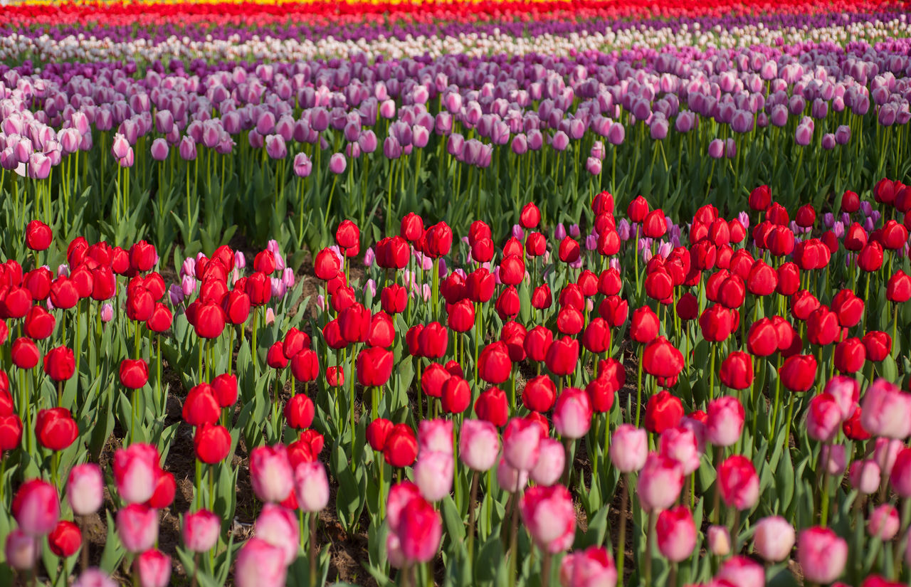 Close-Up Of Tulips Growing On Field