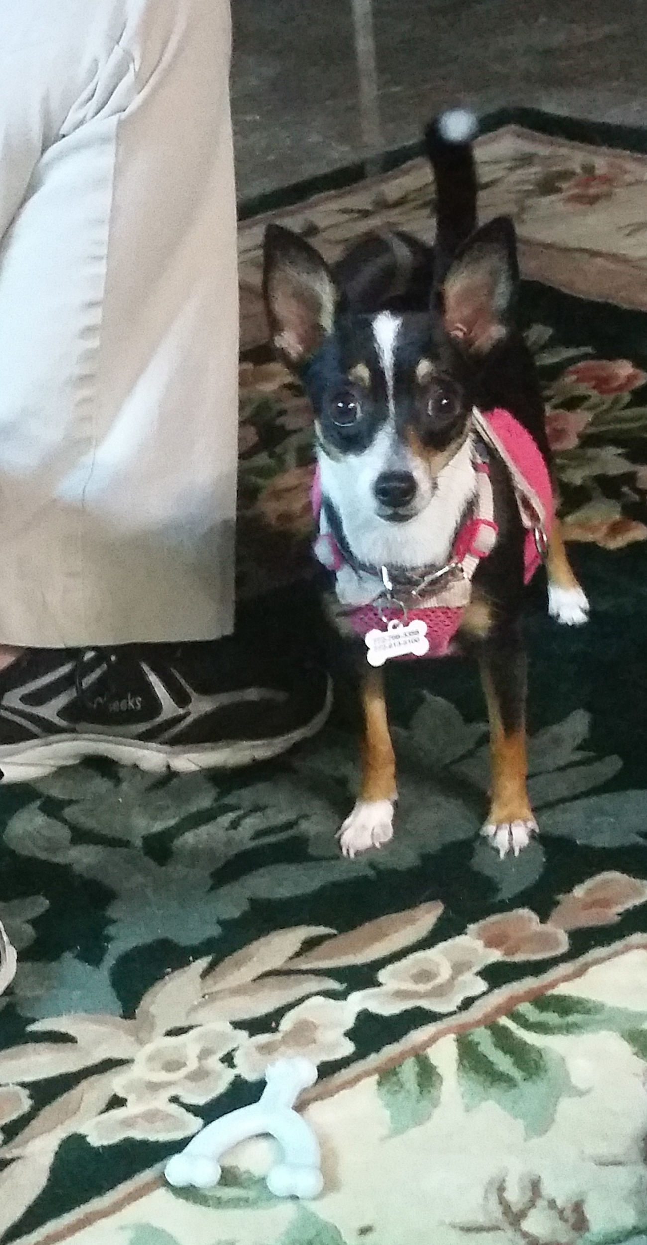 Rat Terrier Chihuahua Puppy Dog Named Kat Rescued ❤ Dog's Life Live Oak Animal Hospital My Dogs Are Cooler Than Your Kids Chihuahualife Spoiled Dog Not A Care In The World My Heart ❤ Dog Chihuahuas Of Eyeem 6 Months Old Multi Colored
